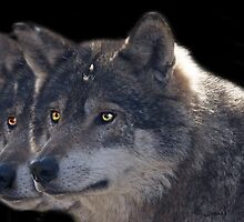 Canis Lupus , two in a Row by John44
