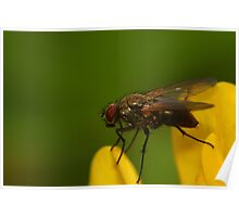 Fly on a buttercup Poster