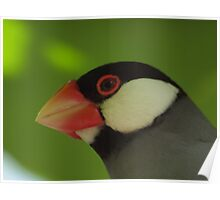 Java Finch (Padda oryzivora) @ taronga zoo  Poster