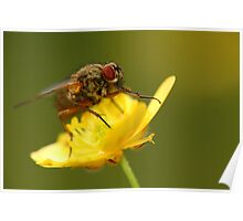 Fly on a buttercup 2 Poster
