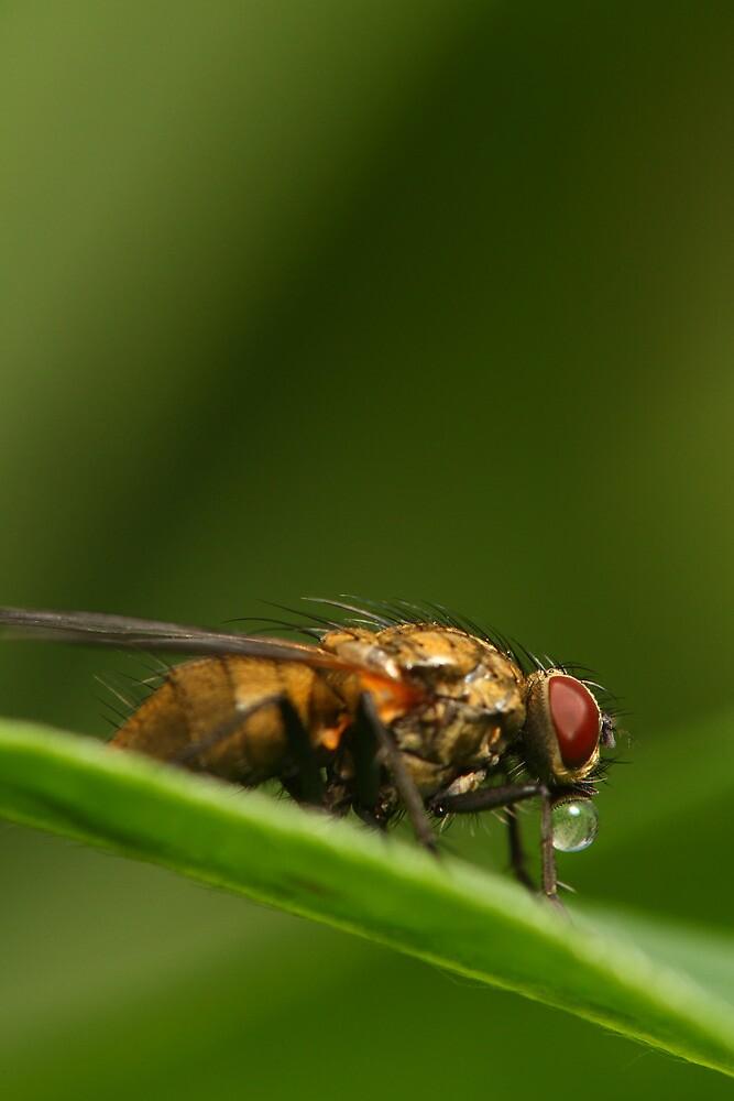 Fly on a leaf 2 by Jouko Mikkola