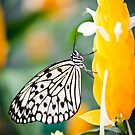 Butterfly 11 by Jacinthe Brault