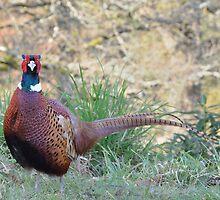 Pheasant (3) by Steve