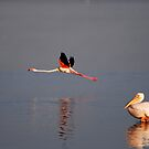 Flamingo in Flight by Troy Spencer