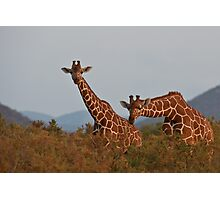 Reticulated Giraffe - Samburu National Park, Kenya Photographic Print