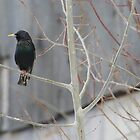 HvsV - European Starling 2 by BTroy