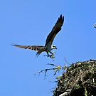 Osprey on a Landing Approach by Randall Ingalls