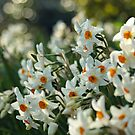 White daffodils by Esther  Molin