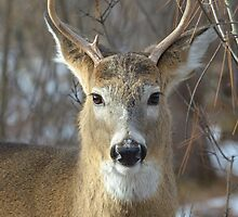 Winter White-tailed Deer by Heather Pickard