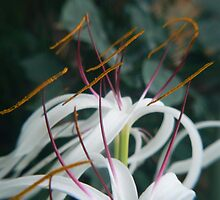 coloful stamens by LisaBeth