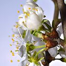 damson blossom (3) by Stephen Frost