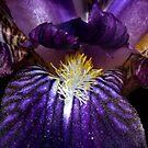 Purple Glory by Greybeard