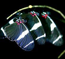 Sleeping Heliconia Butterflies by Robbie Labanowski