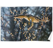 Red-Tailed Hawk On The Hunt Poster