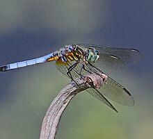 Blue dragonfly by jozi1