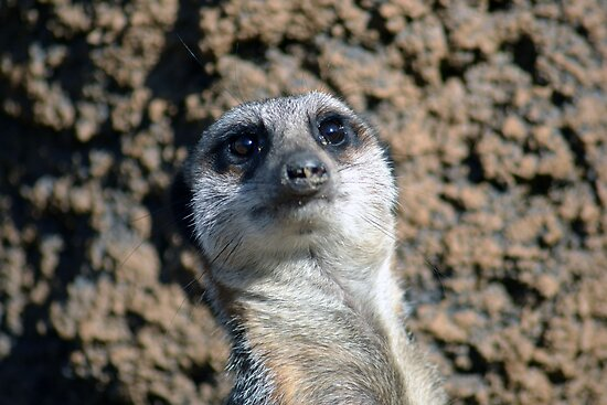 Amusing Meerkat by Ashley Wells