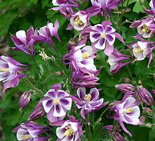 Josie's Columbine Flower by Annlynn Ward
