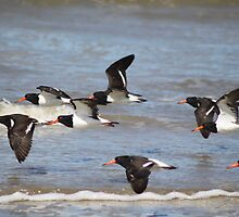 Pied oyster catchers Fly past by robmac