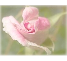First rose of spring Photographic Print