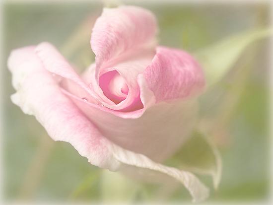 First rose of spring by Celeste Mookherjee