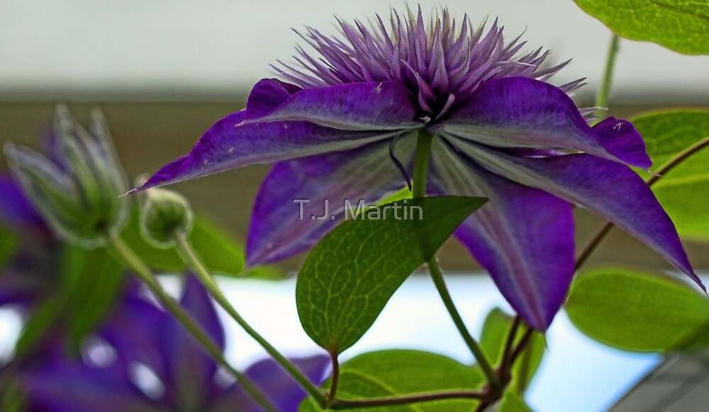 -Multi-Blue Clematis by T.J. Martin