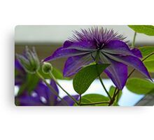 -Multi-Blue Clematis Canvas Print