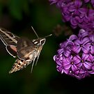Sphinx Moth and Lilacs by Chris Morrison