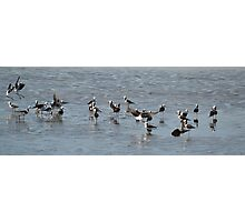 A family of Stilts Photographic Print