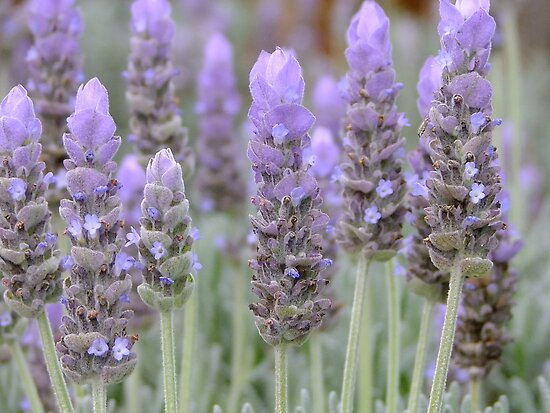 Lavender Blues! by Gabrielle  Lees