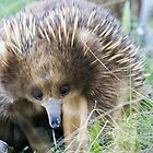 Echidna 7 by Ron Co
