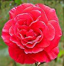 Red Rose by Margaret Stevens
