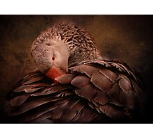 Chocolate Goose Photographic Print
