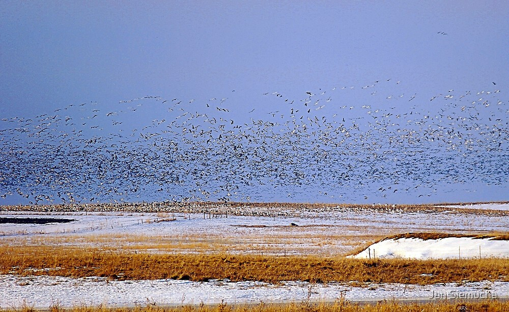 Snows & Blues Migration  North ! by Jan Siemucha