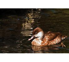 Female Red Crested Pochard Photographic Print