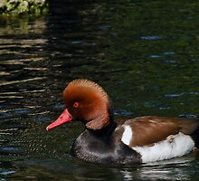 Male Red Crested Pochard  by Winston D. Munnings