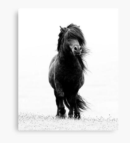 Shetland stallion B/W Canvas Print