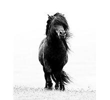 Shetland stallion B/W Photographic Print