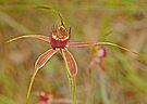 Carousel Spider Orchid by Graeme  Hyde