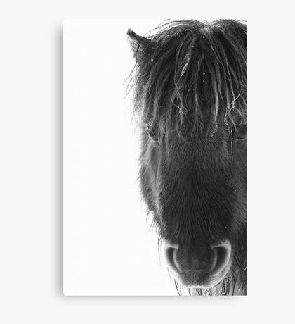 Shetland pony with ice Canvas Print