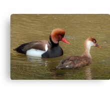 Red Crested Pochard (Male & Female) Canvas Print