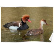 Red Crested Pochard (Male & Female) Poster