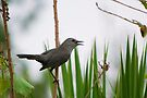 Gray Catbird singing to me by Ben Waggoner