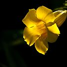 Yellow Trumpet by Elisabeth van Eyken