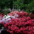 A Carpet of Azaleas in Ruby M. Mize Azalea Garden by Dawn di Donato