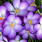 Crocus in the Sun by ienemien