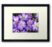 Crocus in the Sun Framed Print