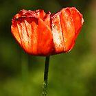 Siberian poppy by Jouko Mikkola