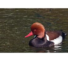 Male Red Crested Pochard Photographic Print