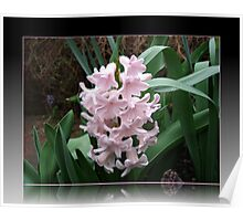 A Delicate Pink Hyacinth  Poster