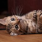 Bengal Kitten by aka-photography